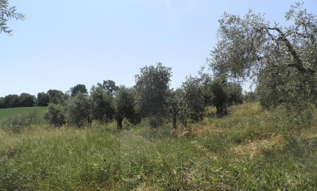 Terreno agricolo in vendita a Castellina Marittima (PI)