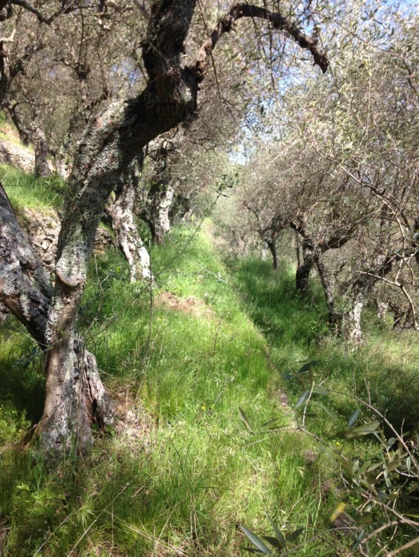 Terreno agricolo a Vicopisano