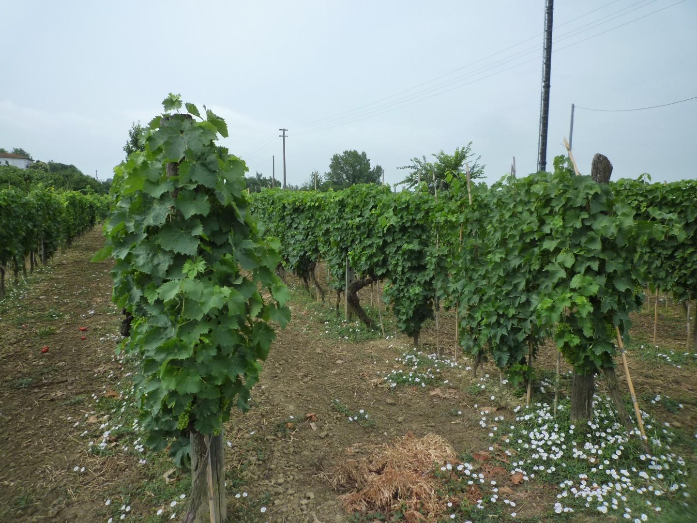 Terreno agricolo in vendita a Montopoli in Val d'Arno (PI)