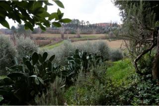 oliveta