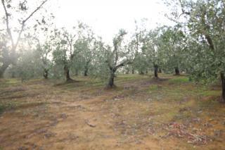 Terreno agricolo a Vinci (2/5)