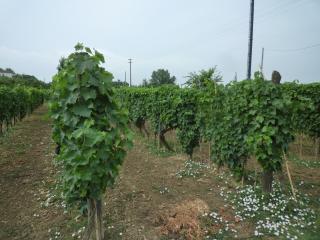 Terreno agricolo a Montopoli in Val d'Arno (1/5)