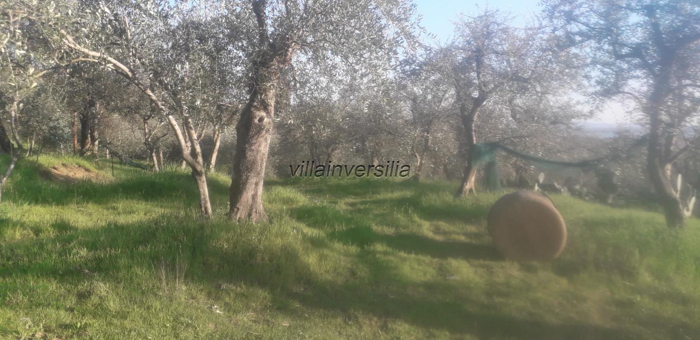 Foto 4/6 per rif. V 102019  terreno con ulivi