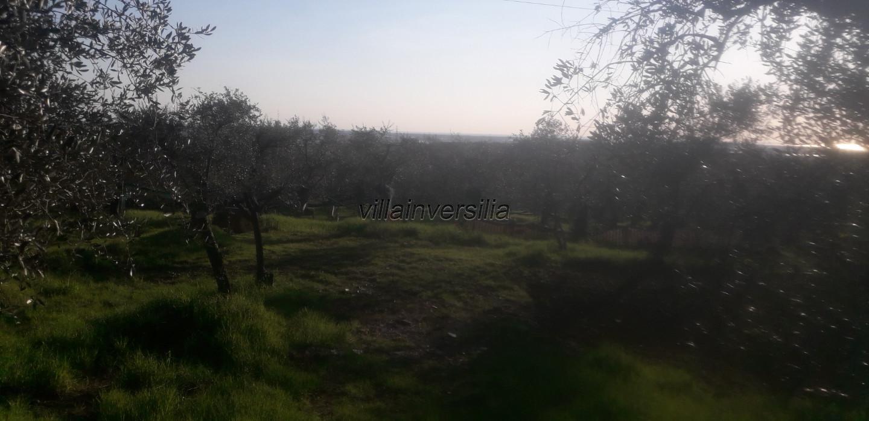 Foto 6/6 per rif. V 102019  terreno con ulivi