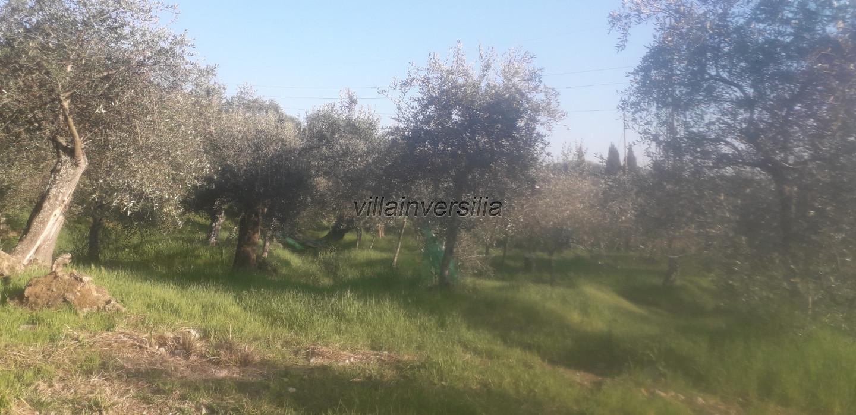 Foto 2/6 per rif. V 102019  terreno con ulivi